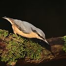 Nuthatch  by miradorpictures