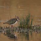 Lapwing by miradorpictures