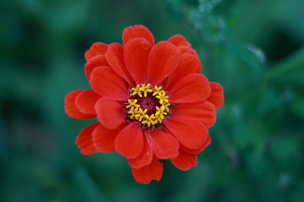 Red Bloom by kevimages