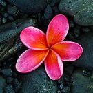 Frangipani Flower by Keith G. Hawley