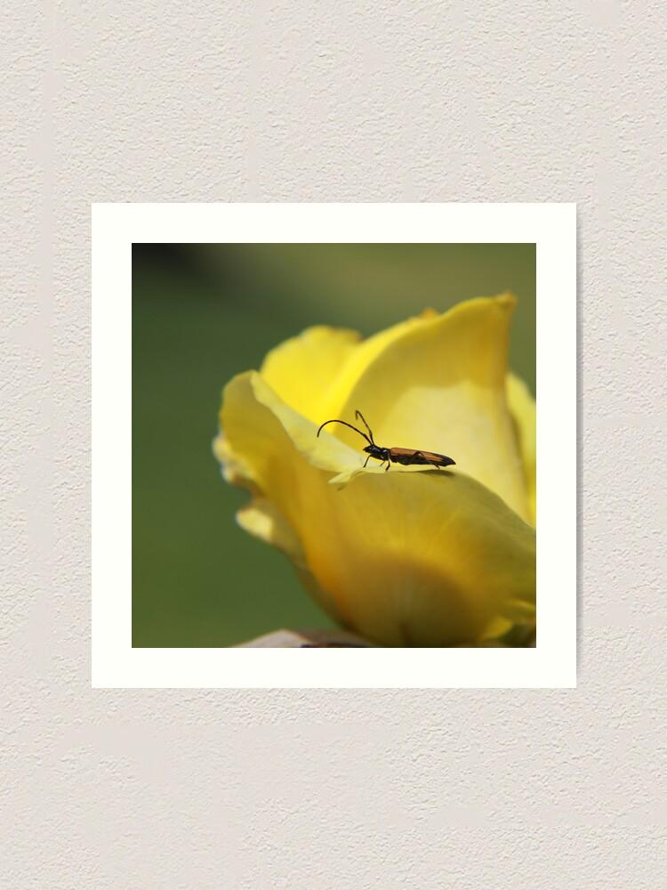 Alternate view of Milkweed bug on yellow rose Art Print