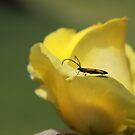 Milkweed bug on yellow rose by Andreas Koepke