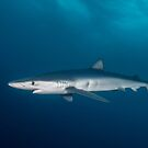 Blue Shark, South Africa by Erik Schlogl