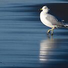 gull reflection by regs
