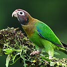 Brown-hooded parrot - Costa Rica by Jim Cumming