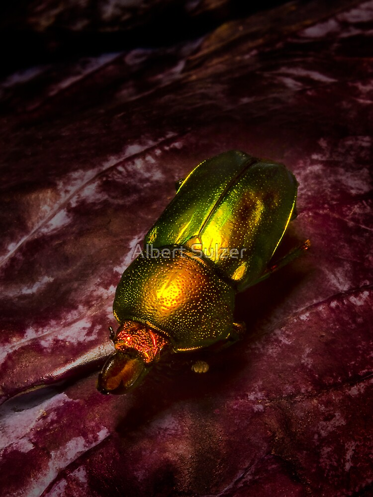 Christmas Beetle by Albert Sulzer