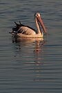Pelican at Sunset 1 by Werner Padarin