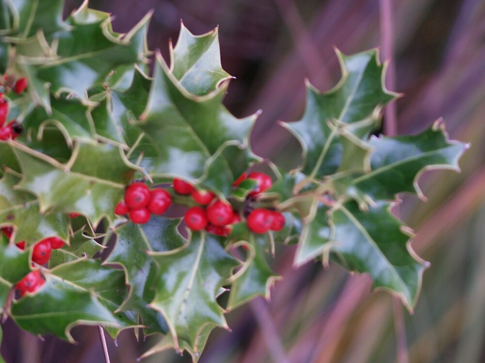 From buds to berries - Holly for Christmas in summer - Australia by Peterzphotoz