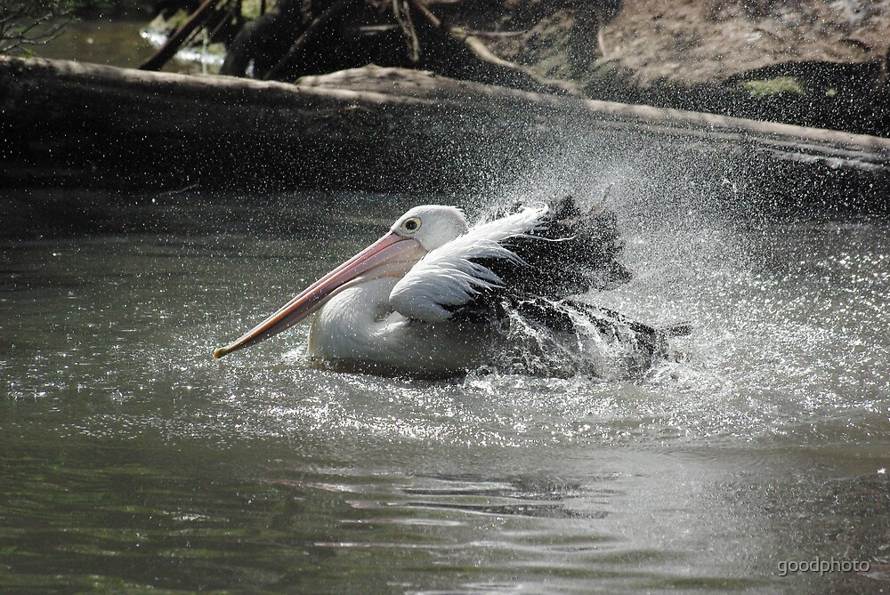 pelican by goodphoto
