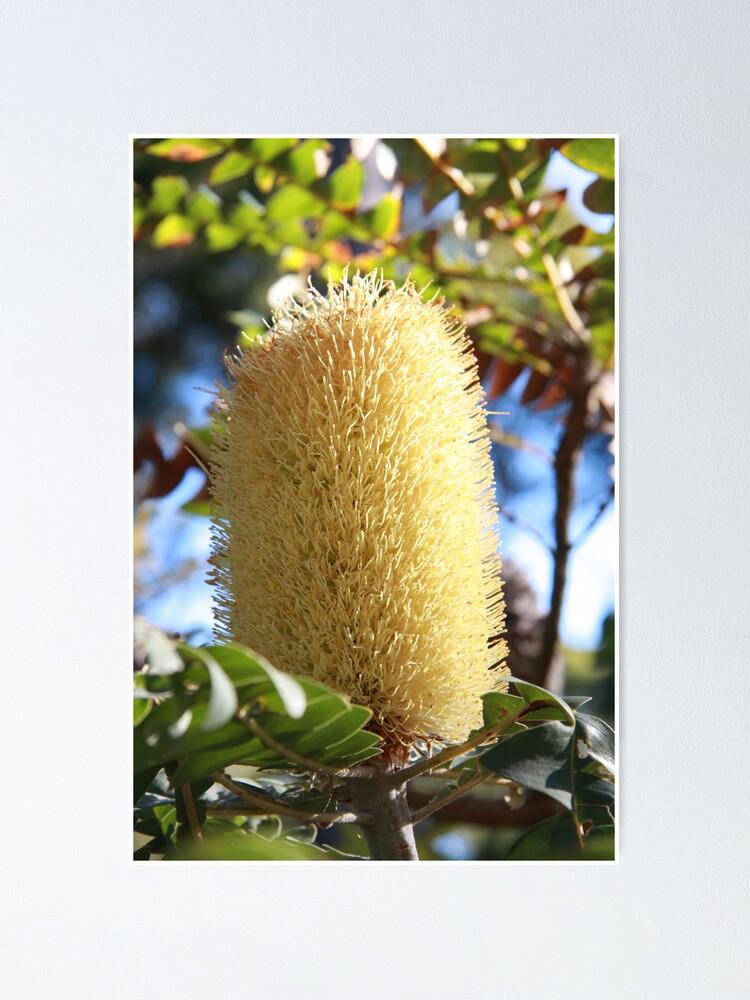 Alternate view of Banksia Flower Poster