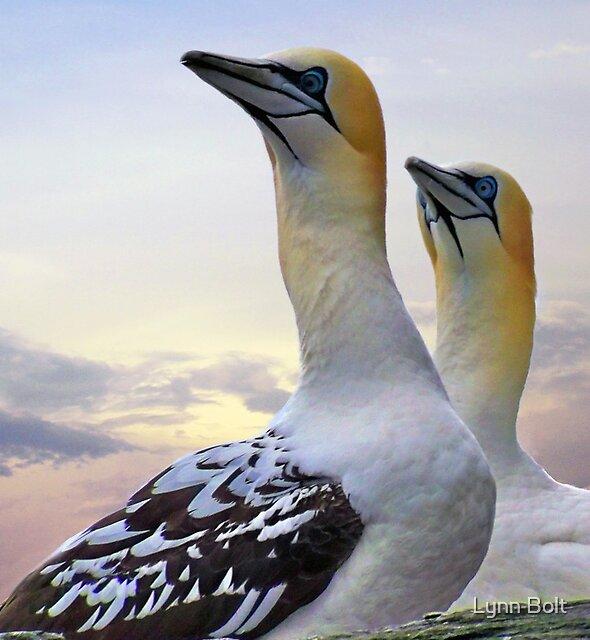 Two Gannets Shetland Isles by Lynn Bolt