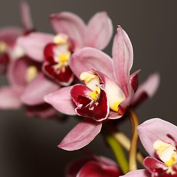 Cymbidium - Orchid Series by earthsmate