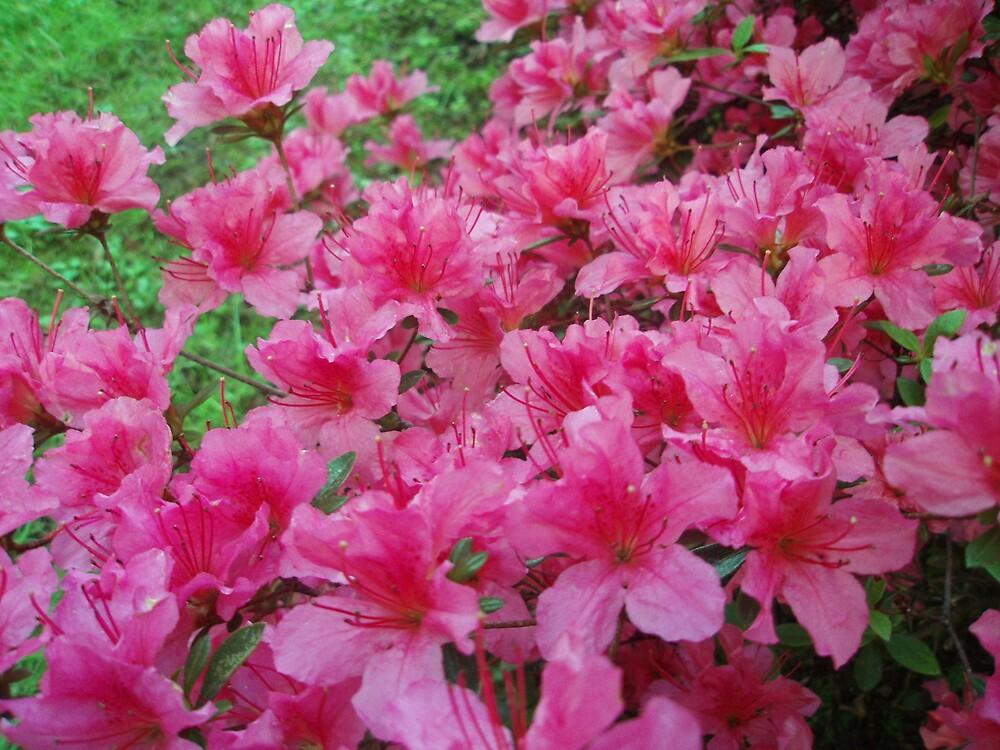 Pink rhododendrons bush by presbi