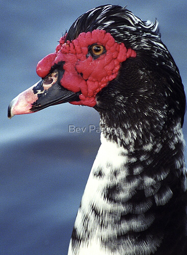 Muscovy Duck resident on golf course lake in northern NSW Australia by Bev Pascoe