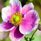 Beautiful Japanese Anemone by ScenicViewPics