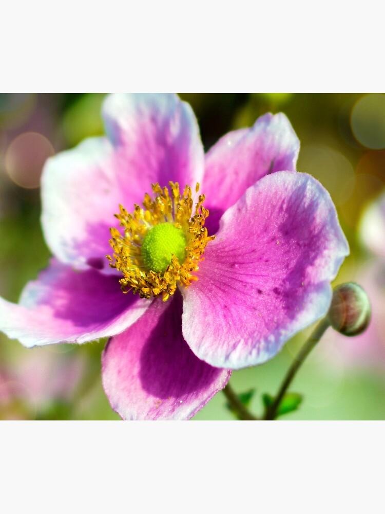 Beautiful Japanese Anemone by ScenicViewPics