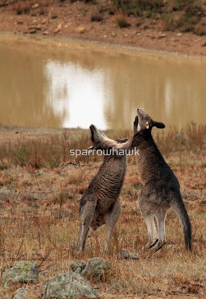 Boxing Kangaroos by sparrowhawk