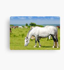 Nature scene with white horse on pasture Canvas Print