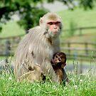 Rhesus Macaque Monkeys by Amanda White