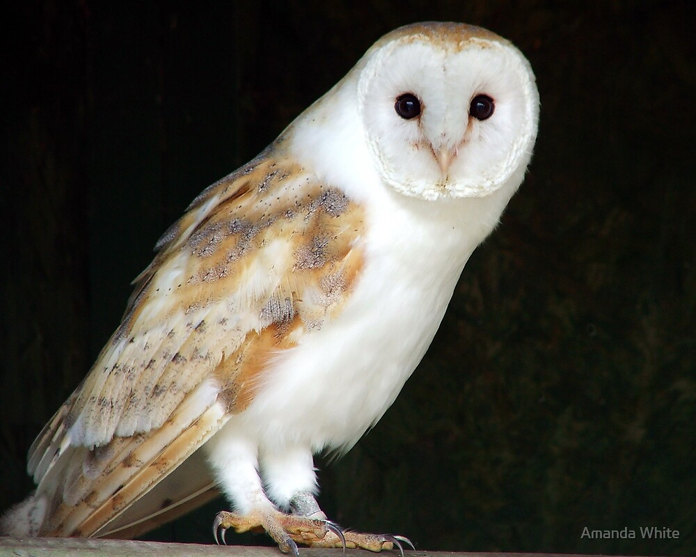 Quot Barn Owl Quot By Amanda White Redbubble