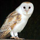 Barn Owl by Amanda White