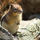 Golden-Mantled Ground Squirrel 2 by Amanda White