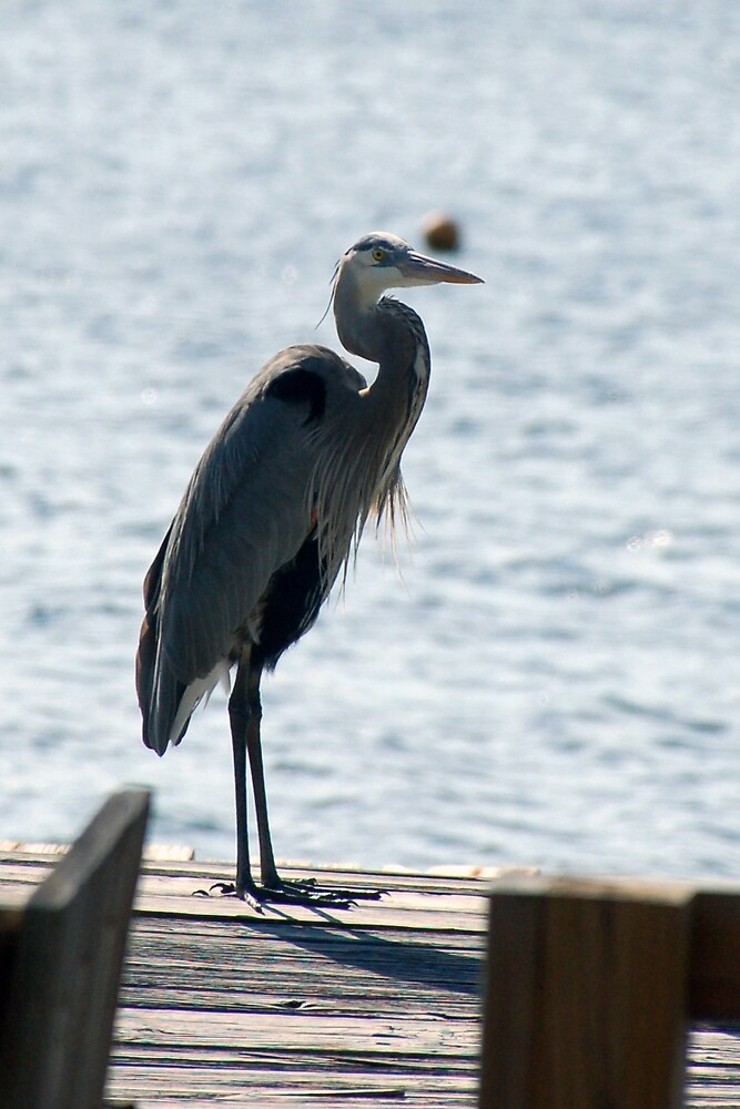 more Blue Heron by FloridaWorld