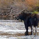 Moose in River by Leon Heyns