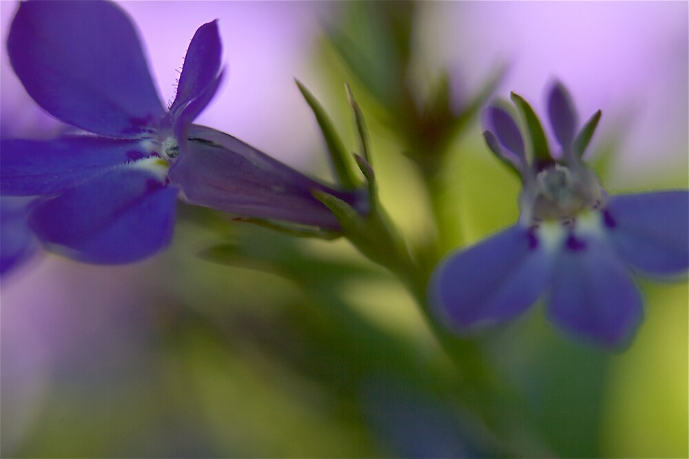 violets by scott derryberry