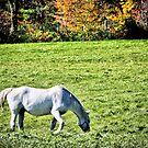 White Horse In Field by terrebo