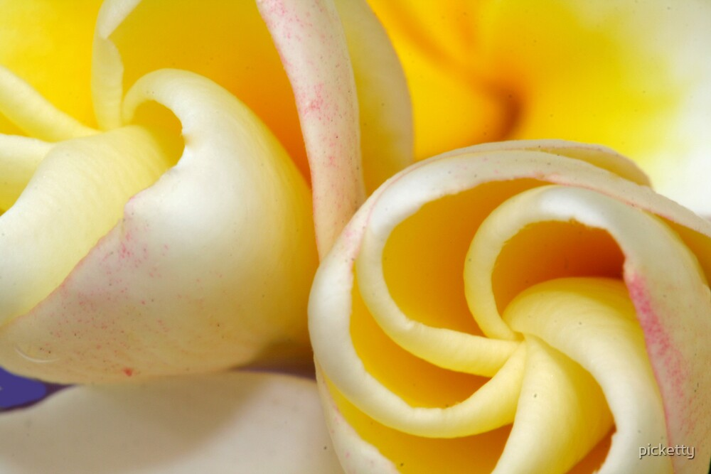 frangipani buds by picketty