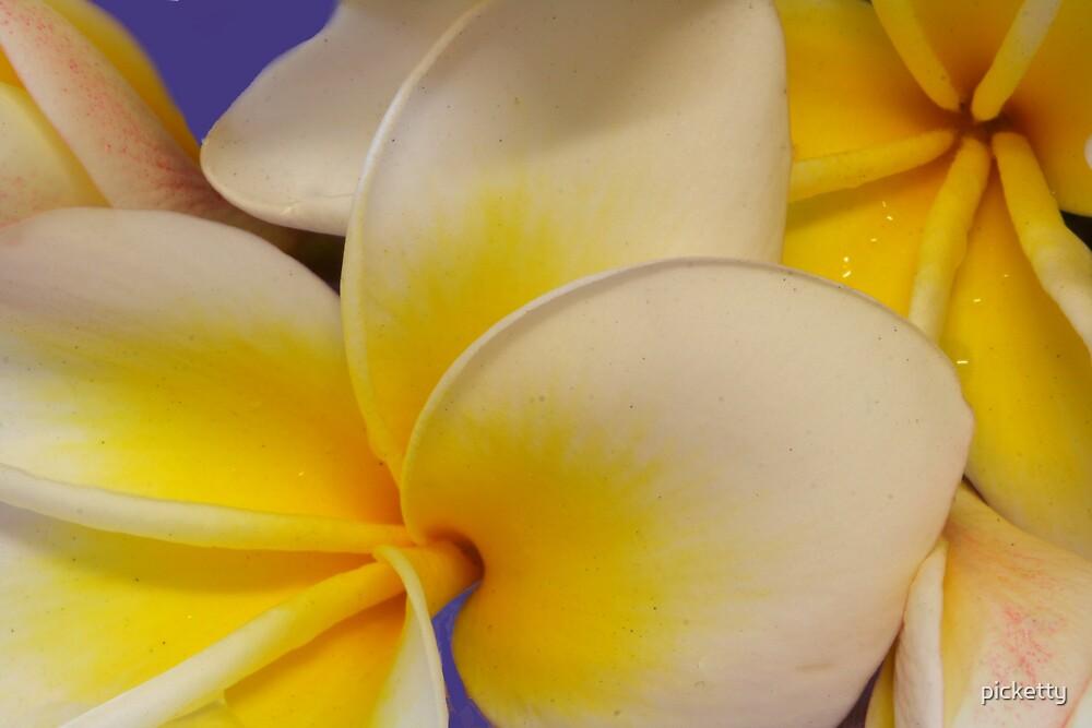 frangipani blooms by picketty