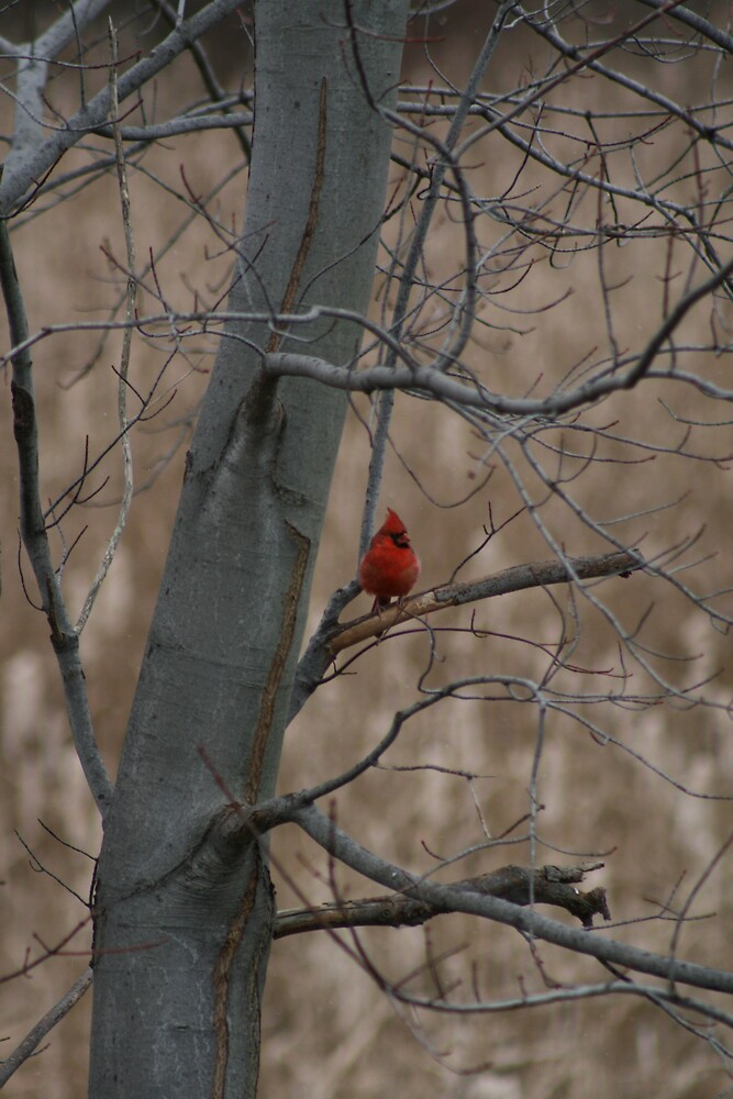 fall cardinal by constance42