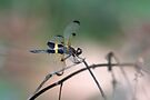 Yellow-striped Flutterer Dragonfly by Normf