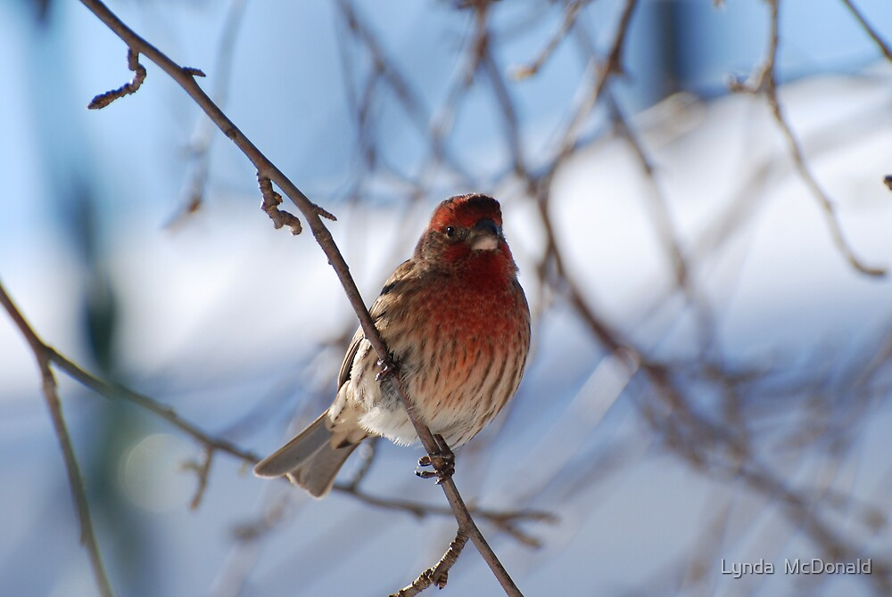 Red Finch - Male (purple finch ) by Lynda   McDonald
