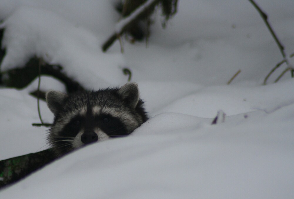Raccoon in the Snow by ArtHarris