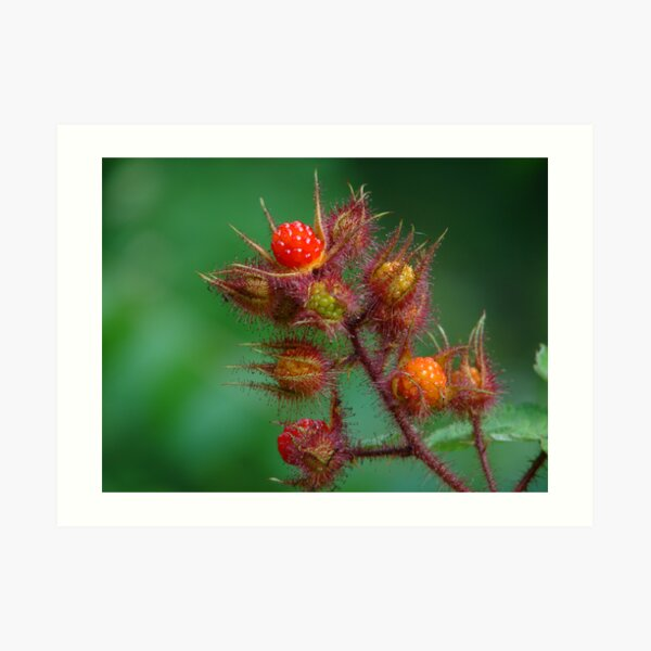 Southeast Kentucky Wild Mountain Raspberry Art Print
