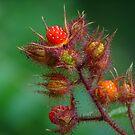 Southeast Kentucky Wild Mountain Raspberry by Ron Alcorn
