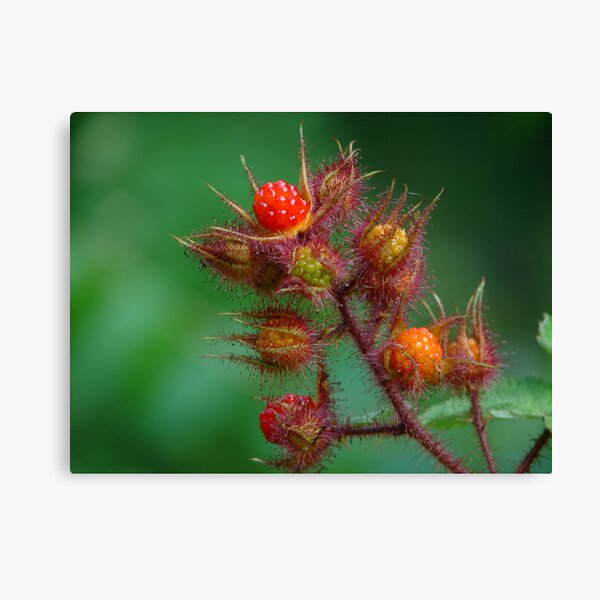 Southeast Kentucky Wild Mountain Raspberry Canvas Print
