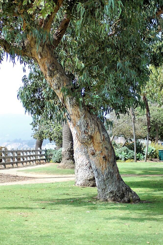 Eucalyptus at Palisades Park by Jawaher