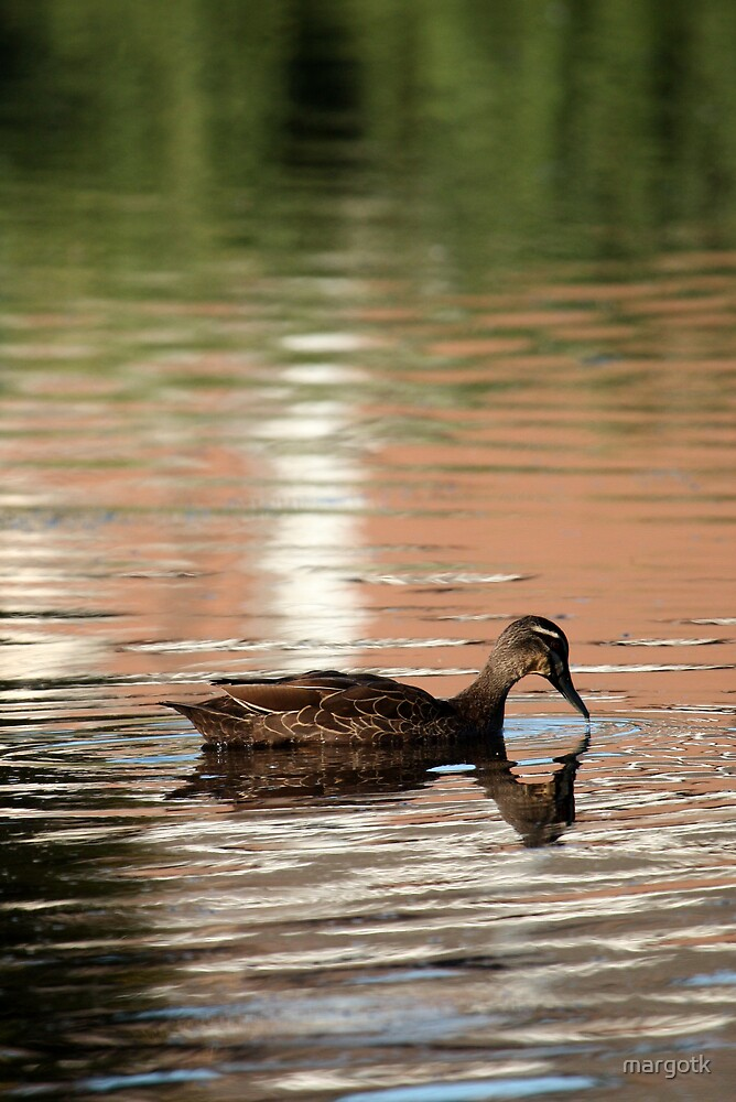 Pacific Black Duck by margotk