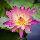 The Waterlily  by Ann Barnes