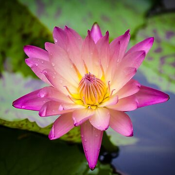 The Waterlily  by Annmb78