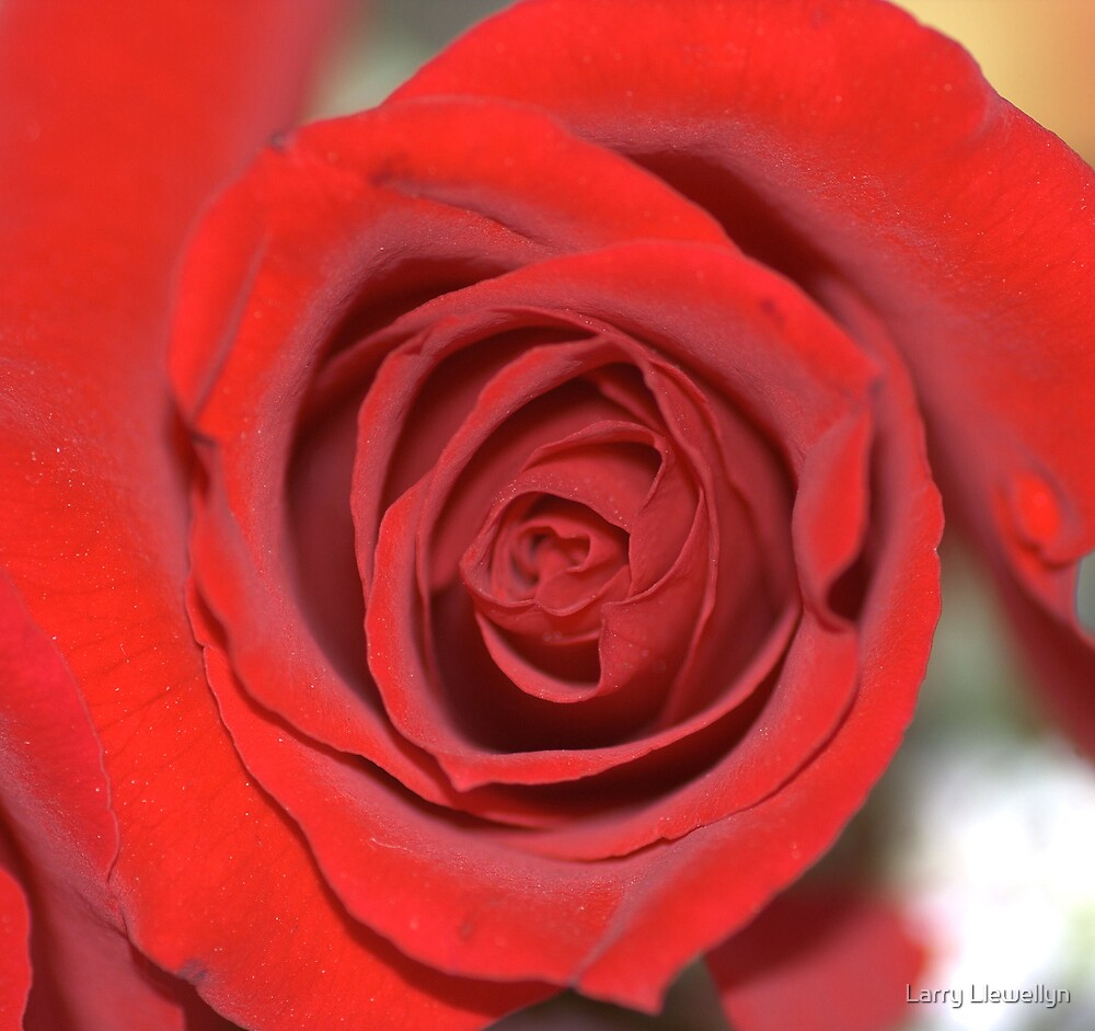 My Rose ...... by Larry Llewellyn
