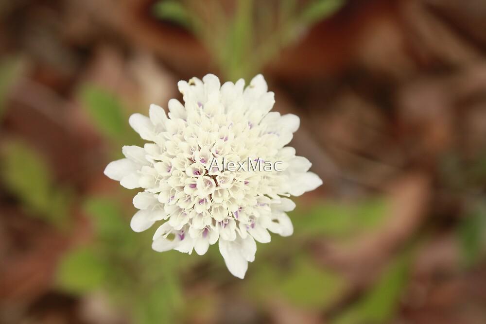 Willunga Wildflowers by AlexMac