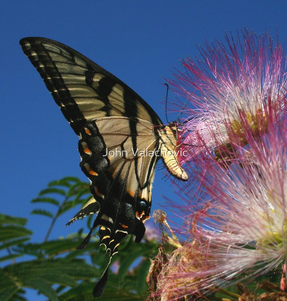 Eastern Tiger Swallowtail by John Valachovic