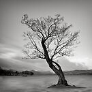 the Ullswater Tree by marshall calvert  IPA