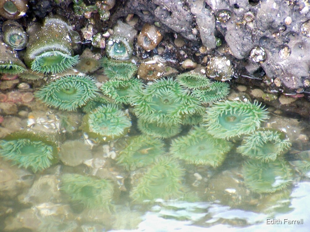 Sea Anemones by Edith Farrell