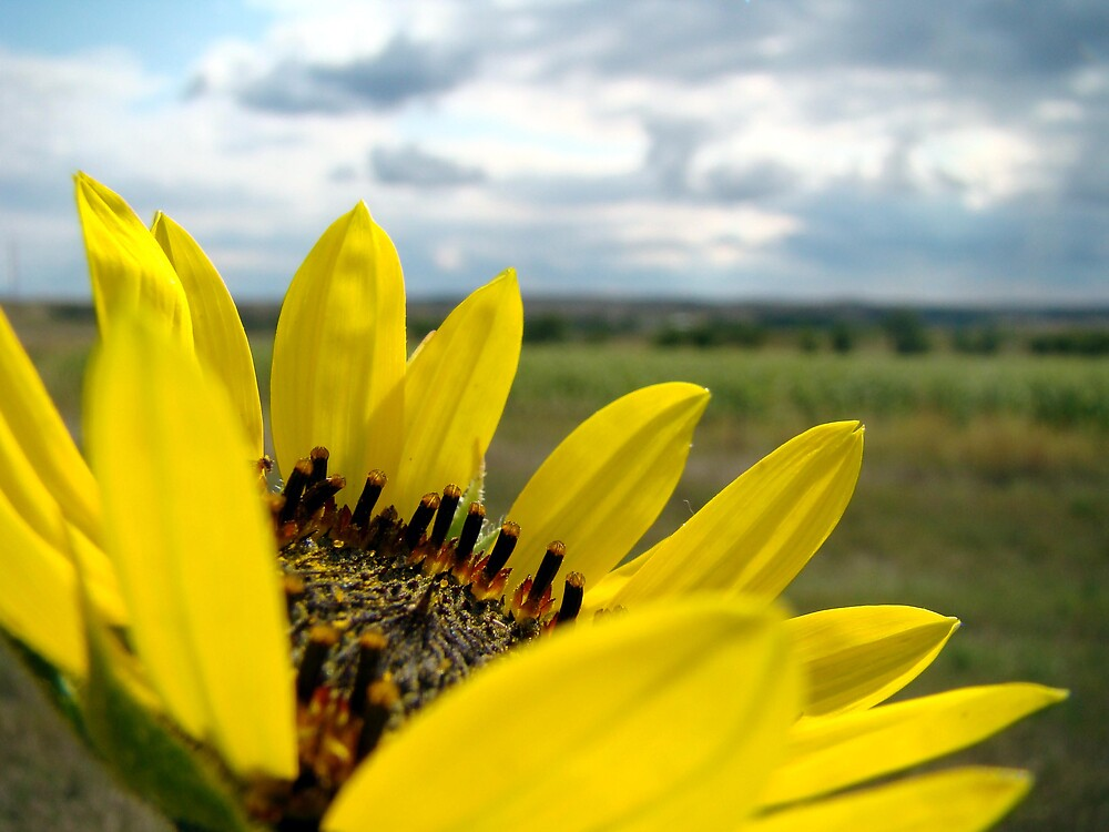 North Dakota Sun Flower by kaylyn