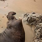 Young Male Sea Lion  by Buckwhite